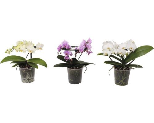 Orchidée papillon mélange FloraSelf Phalaenopsis multiflora ''Angel'' H 20-30 cm Ø 12 cm pot 2 panicules