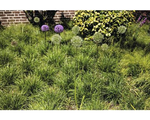 Seslérie ''Greenlee Hybrid'' Sesleria ''Greenlee Hybrid'' H 10-35 cm T 7 cm herbe couvre-sol lot de 6 pièces
