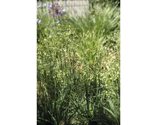 Brize intermédiaire Briza media H 10-40 cm T 7 cm herbe couvre-sol lot de 6 pièces