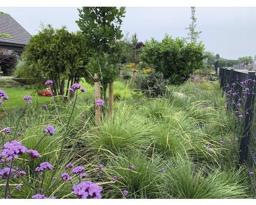 Fétuque de l''Atlas Festuca mairei H 10-40 cm T 7 cm herbe couvre-sol lot de 6 pièces