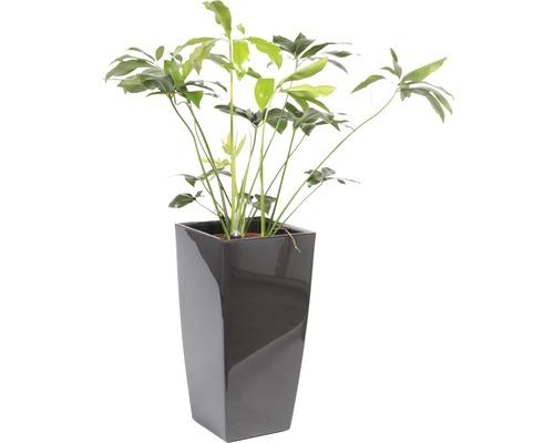 Plantes en bac Philodendron hauteur totale env. 150 cm pot de l40xL40xh78 cm anthracite