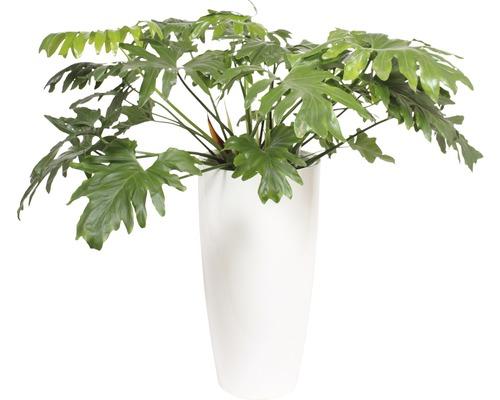 Plantes en bac Philodendron hauteur totale env. 130 cm pot de Ø 40 cm blanc