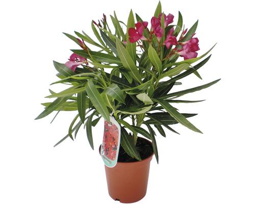 Laurier-rose FloraSelf Nerium oleander h 20-25 cm pot Ø 14 cm Édition 30 ans FloraSelf