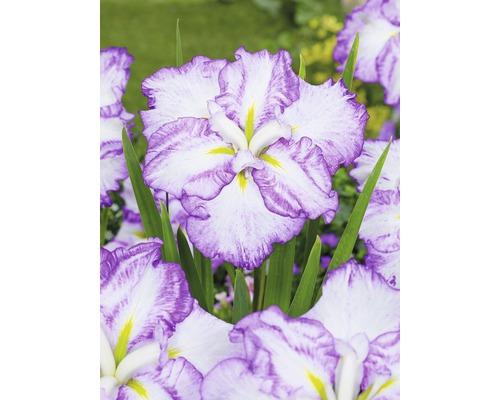 Iris versicolor du Japon Dinner Plate loraSelf Iris ensata Dinner Plate ''Tiramisu'' pot Ø 11 cm