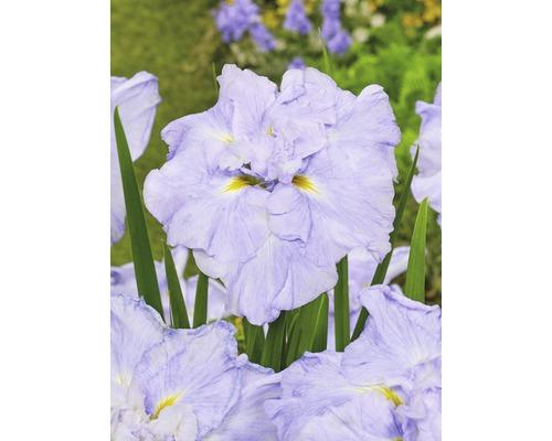 Iris versicolor du Japon Dinner Plate loraSelf Iris ensata Dinner Plate ''Ice Cream'' pot Ø 11 cm