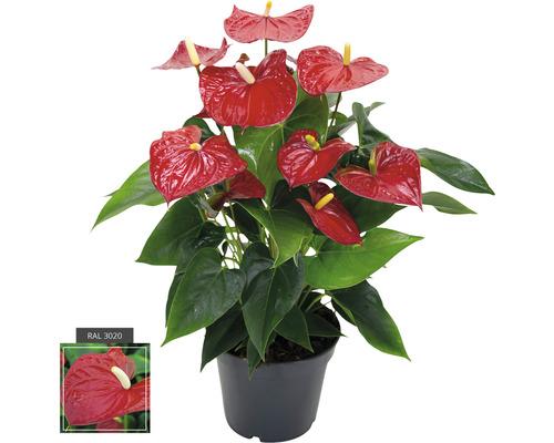 Langue de feu/Anthurium rouge FloraSelf Anthurium andreanum h 55-60 cm pot de Ø 17 cm