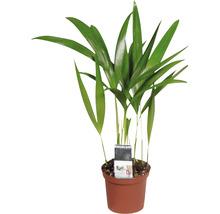 Palmiste multipliant FloraSelf Dypsis H20-30 cm Ø 7 cm pot-thumb-0