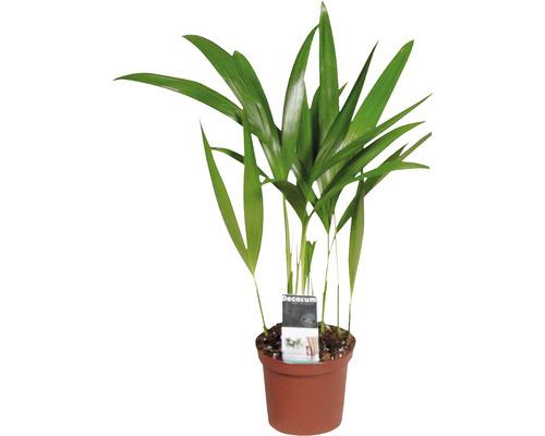 Palmiste multipliant FloraSelf Dypsis H20-30 cm Ø 7 cm pot-0