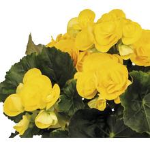 Bégonia Elatior FloraSelf Begonia elatior ''Rebecca'' H30-40 cm pot Ø 14 cm-thumb-1
