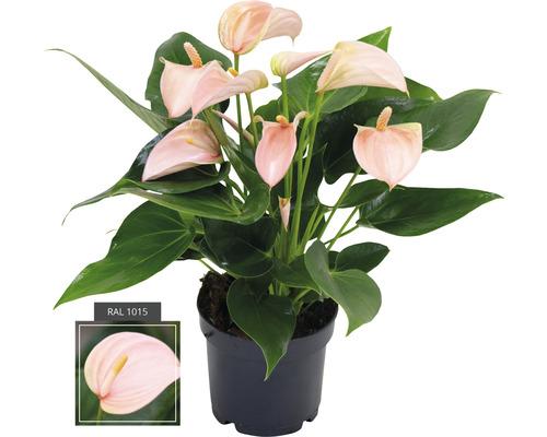 Langue de feu Anthurium andreanum ''Joli Peach'' H 20-30 cm pot Ø 12 cm