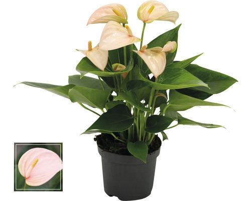 Langue de feu / Anthurium FloraSelf Anthurium andreanum ''Peach'' H25-30 cm Ø 9 cm pot