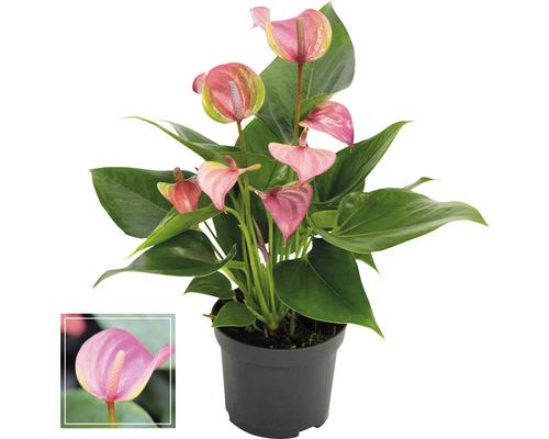 Langue de feu/ Anthurium FloraSelf Anthurium andreanum ''Pink'' H35-40 cm Ø 12 cm pot