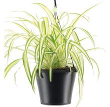 Lys vert retombant FloraSelf Chlorophytum comosum ''Bonnie'', en ensemble de suspension florale, hauteur avec pot 40-50 cm pot Ø 17 cm-thumb-1