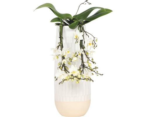 Orchidée papillon FloraSelf Phalaenopsis multiflora ''Little Kolibri Victoria Falls'' H 35-45 cm pot en céramique Ø 13 cm