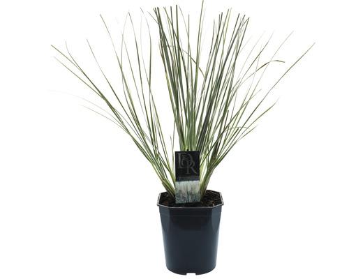 Herbe naine de la pampa Cortaderia selloana ''Silverpampas'' h 25-40 cm Co 5 l