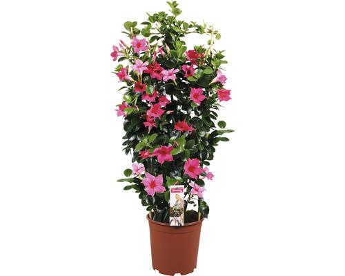 Mandevilla Dipladenia sundevilla rose foncé en espalier T21 90cm