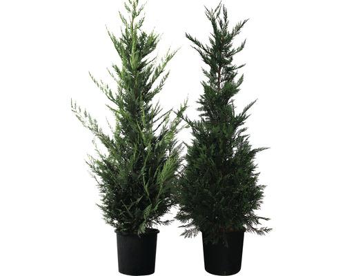 Englische Zypresse FloraSelf Cupressocyparis leylandii H 175-200 cm Co 15 L