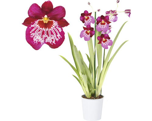 Orchidée pensée FloraSelf Miltonia ''Newton Falls'' H 40-50 cm pot Ø 12 cm 2 panicules
