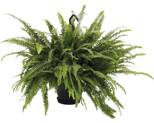 Fougère de Boston suspension XXL FloraSelf Nephrolepis exaltata ''Green Lady'' h 50-55 cm