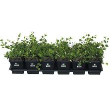 12 x Zwergmispel FloraSelf Cotoneaster dammeri ''Evergreen'' H 20-30 cm Ø 9 cm Topf-thumb-0