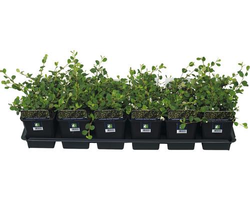 12 x Cotonéaster FloraSelf Cotoneaster dammeri ''Evergreen'' H20-30cm pot de Ø9cm