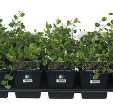 12 x Zwergmispel FloraSelf Cotoneaster dammeri ''Evergreen'' H 20-30 cm Ø 9 cm Topf-thumb-1