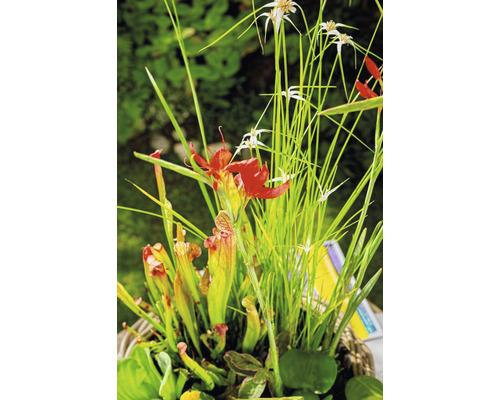 Lot de plantes de bassin pour bassin miniature FloraSelf, anneau de culture inclus