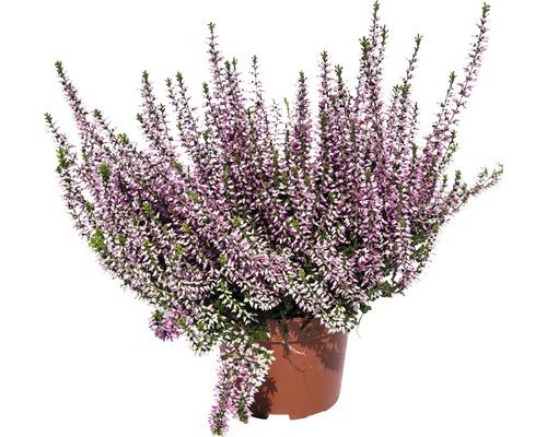 Bruyère commune, callune Calluna vulgaris pot Ø10,5cm assortie