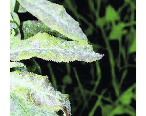 Fongicide pour roses Neudorff Fungisan 16 ml