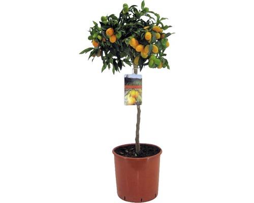 Kumquat ovale FloraSelf Fortunella margarita H 60-70 cm pot Ø 19 cm