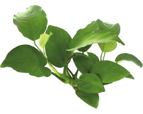 Anubias à feuilles larges