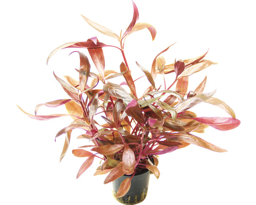 Alternanthera reineckii à feuilles larges-0