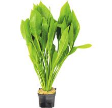 grande plante épée d''Amazonie, espèce-thumb-0
