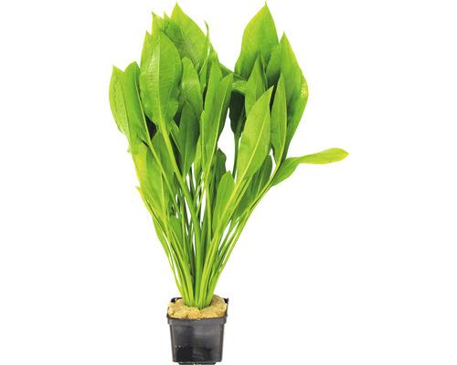 grande plante épée d''Amazonie, espèce-0
