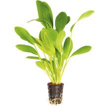 Echinodorus Phyton Dschungelstar N°3 T/10-thumb-0