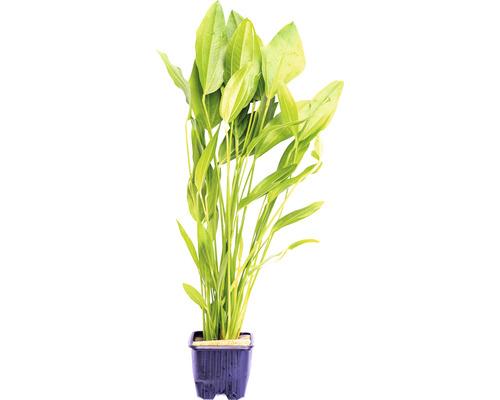 Plantain d''eau d''Argentine, grande plante-0
