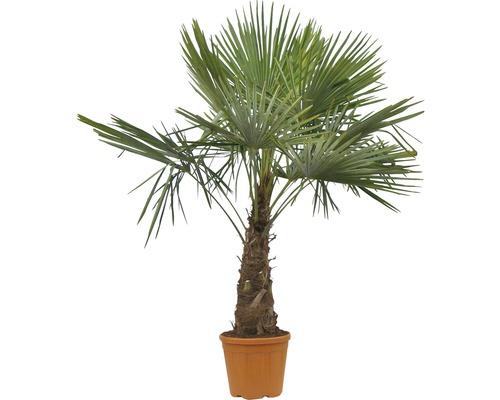 Palmier de Chine FloraSelf Trachycarpus fortunei H 120-150 cm Co 55 l
