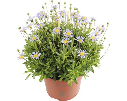 Pâquerette bleue FloraSelf Felicia amelloides pot Ø10,5cm