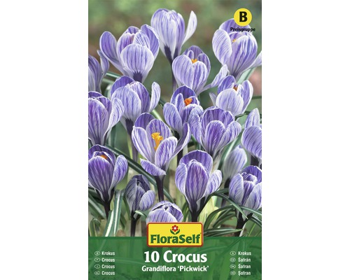 Bulbes FloraSelf crocus Grandiflora ''Pickwick'' lilas 10pces