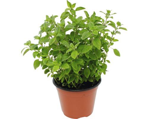 Origan FloraSelf Origanum vulgare ''Diabolo'' pot de 12 cm de Ø