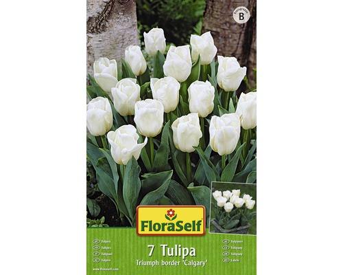 Bulbes FloraSelf tulipe Triumph b order ''Calgary'' blanc 7pces