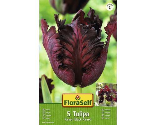 Bulbes FloraSelf tulipe Parrot ''Black Parrot'' noir 5pces