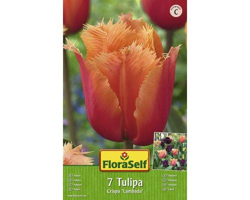 Bulbes FloraSelf tulipe Crispa ''Lambada'' orange-jaune 7pces