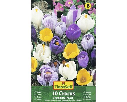 Bulbes FloraSelf crocus Grandiflora ''Mixed'' multicolore 10pces