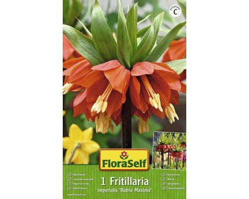 Bulbes FloraSelf couronne impériale ''Rubra'' rouge, 1pce