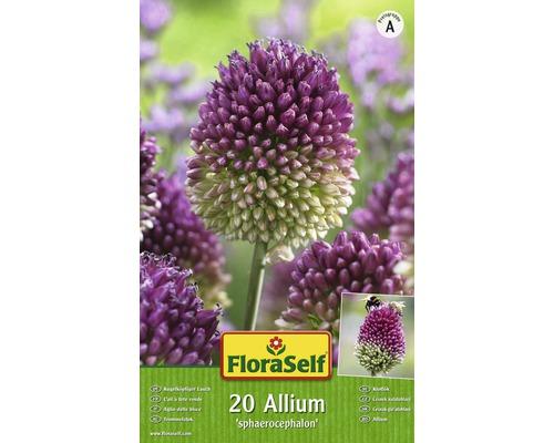 Bulbes FloraSelf ail d''ornement ''Spaerocephalum'' lilas-vert 30pces