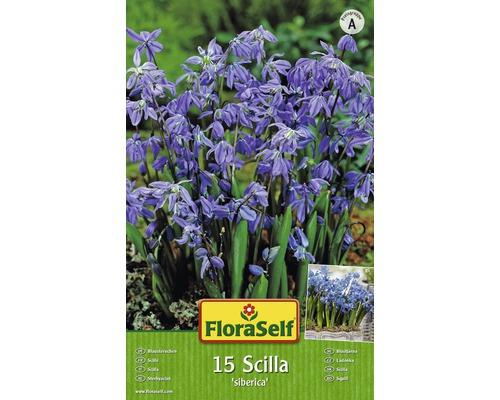 Bulbes FloraSelf scilles ''Siberica'' bleu 15pces
