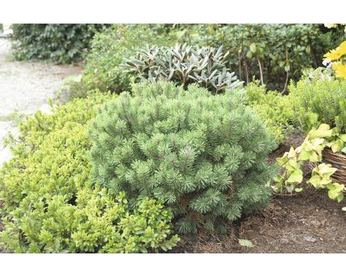 Kugel-Kiefer FloraSelf Pinus mugo ''Mops'' H 15-20 cm Co 2 L