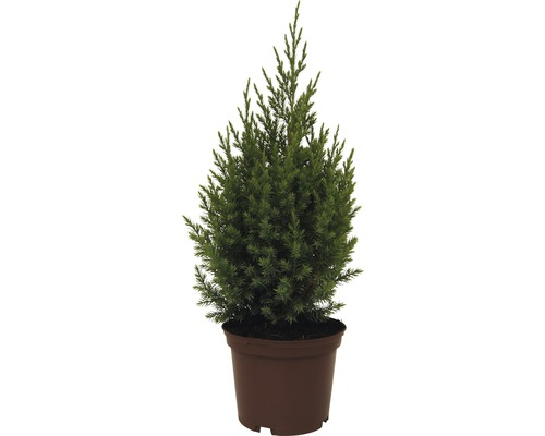 Genévrier conique FloraSelf Juniperus chinensis ''Stricta'' H20-30cm Co 2L