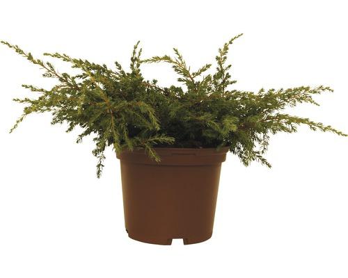 Genévrier commun FloraSelf Juniperus communis ''Repanda'' H20-30cm Co 2L
